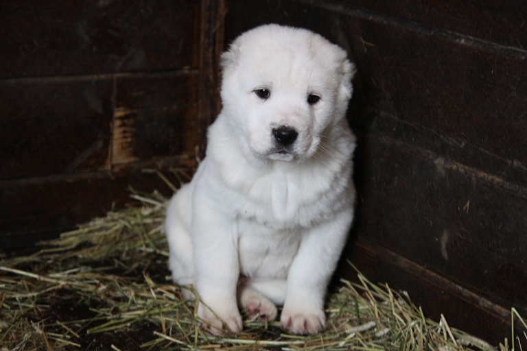 алабай цена щенка фото